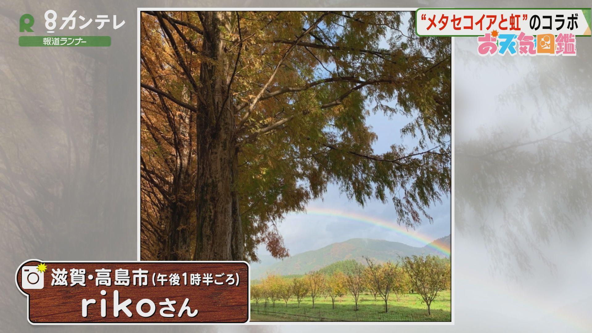 「メタセコイアの名所に虹が…」(滋賀・高島市)