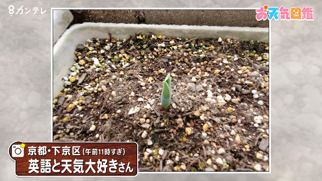 「チューリップの芽が出ました!」(京都市)