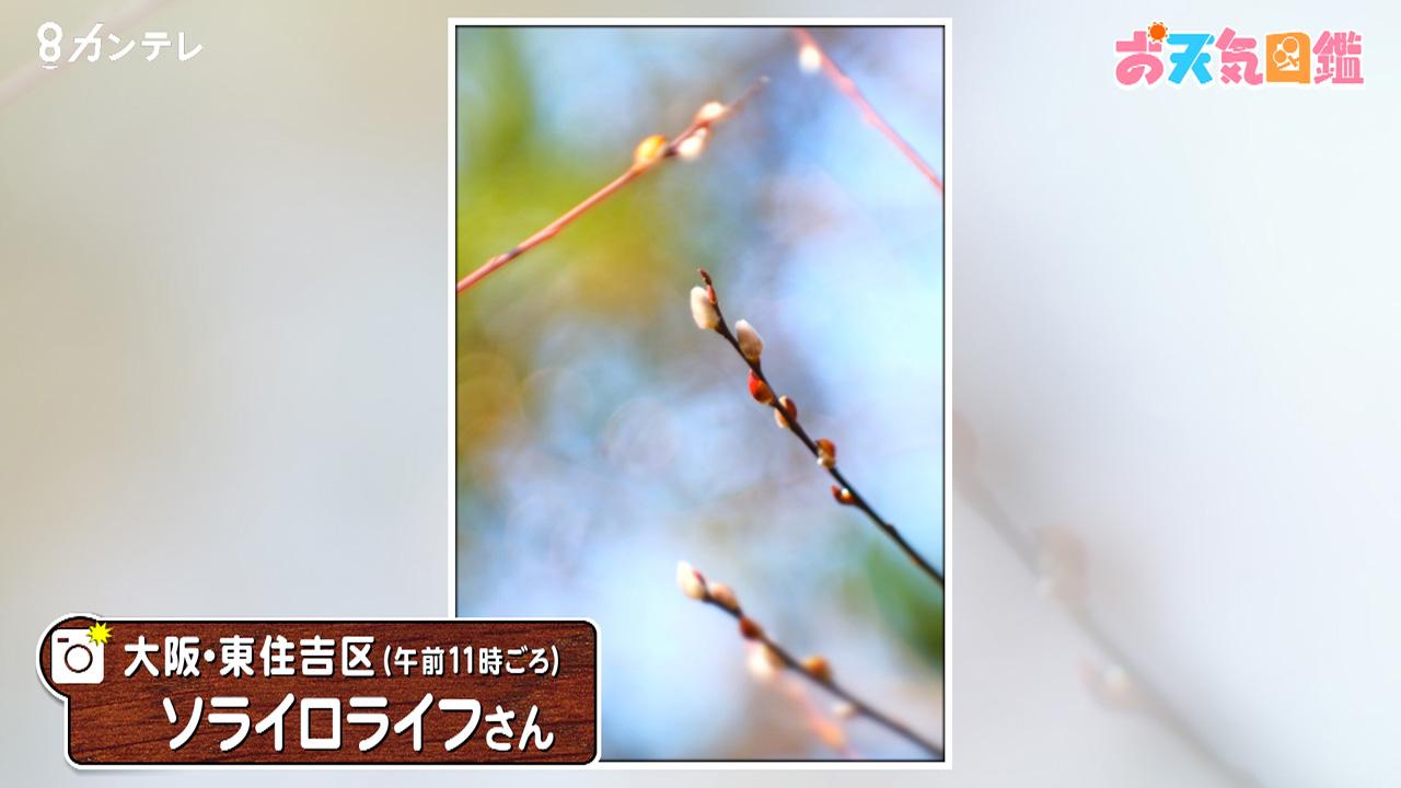 「フリソデヤナギの蕾」(大阪・東住吉区)