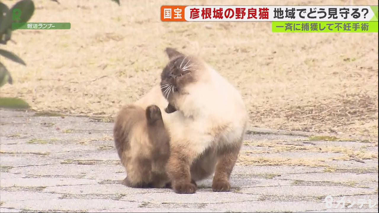 """目指すは""""ひこにゃん"""" 苦情よせられる彦根城の『野良猫』を地域で見守る理由"""