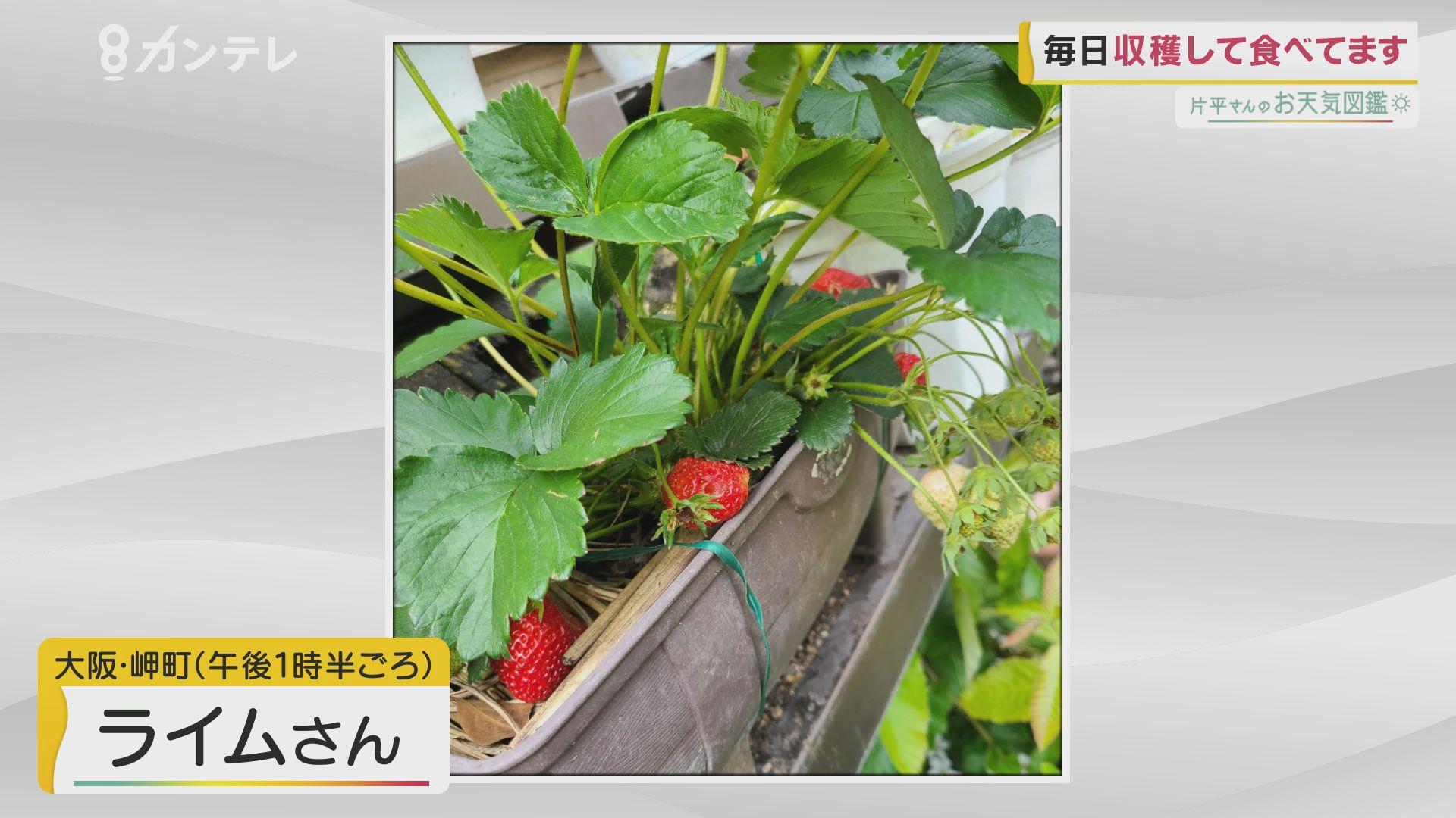 「おうちでイチゴ狩り」(大阪・岬町)