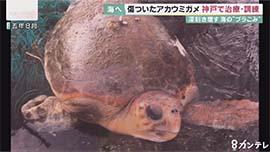 片足を失ったウミガメ ふるさとの日本海へ