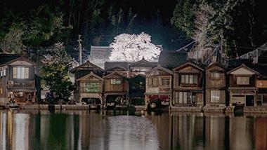 <関西桜ストーリー> 舟屋の里の一本桜秘められた想い
